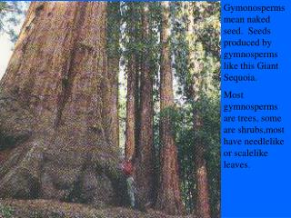 Gymonosperms mean naked seed.  Seeds produced by gymnosperms like this Giant Sequoia. Most gymnosperms are trees, some a