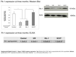 Flk-1 expression at three months: Western Blot