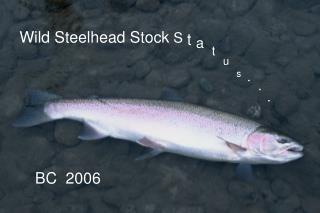 Wild Steelhead Stock  S