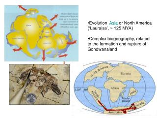 Evolution   Asia  or North America ('Lauraisa', ~ 125 MYA)