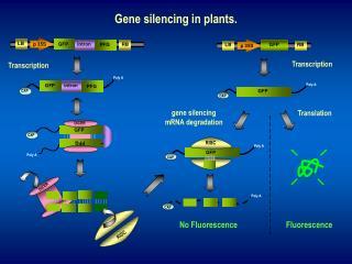 Gene silencing in plants.