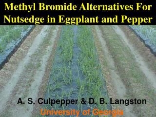 Methyl Bromide Alternatives For Nutsedge in Eggplant and Pepper