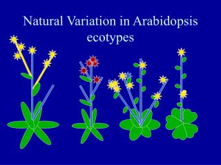 Natural Variation in Arabidopsis ecotypes
