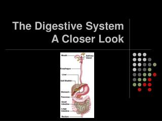 The Digestive System  A Closer Look