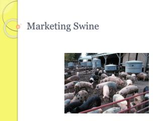 Marketing Swine