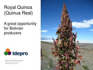 Royal Quinoa (Quinua Real) A great opportunity for Bolivian producers