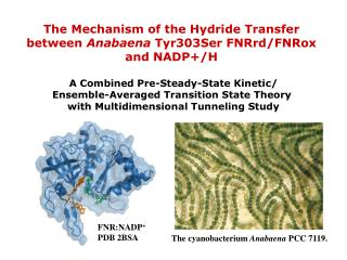 The Mechanism of the Hydride Transfer  between  Anabaena  Tyr303Ser FNRrd/FNRox  and NADP+/H