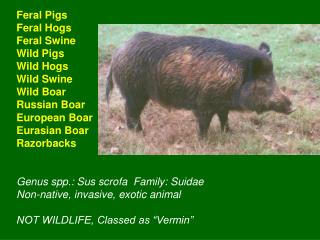 Feral Pigs Feral Hogs Feral Swine Wild Pigs Wild Hogs Wild Swine Wild Boar Russian Boar European Boar Eurasian Boar Razo