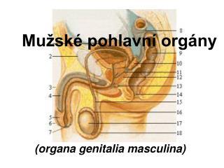 Mužské pohlavní orgány