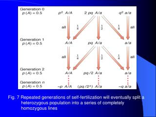 The rate of loss of heterozygosity per generation in inbreeding