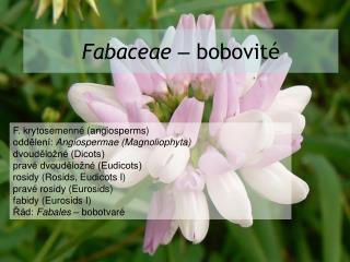 Fabaceae –  bobovité