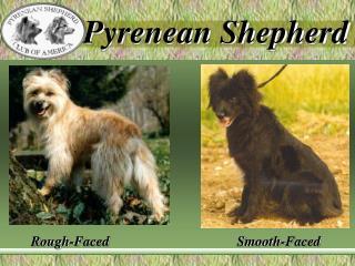 Pyrenean Shepherd