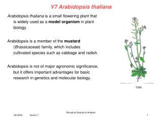 V7 Arabidopsis thaliana