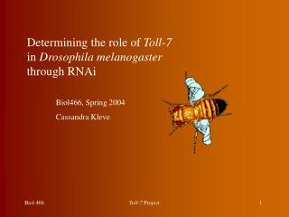 Determining the role of  Toll-7  in  Drosophila melanogaster  through RNAi 	Biol466, Spring 2004