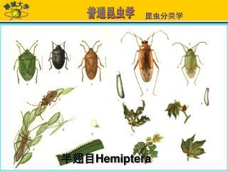 半翅目 Hemiptera