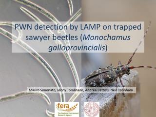 PWN  detection by LAMP on trapped sawyer beetles ( Monochamus galloprovincialis )