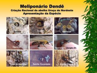 Meliponário Dendê Criação Racional da abelha Uruçu do Nordeste  Apresentação da Espécie
