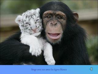 Singe avec ses amis les tigres blancs