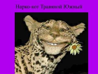 Нарко-кот Травяной Южный