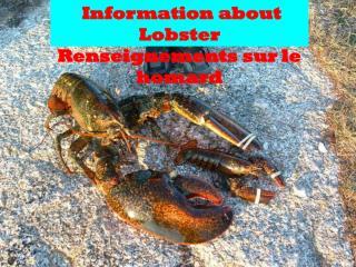 Information about Lobster   R enseignements  sur le homard