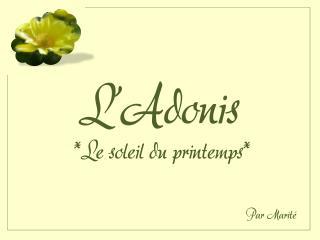 L'Adonis *Le soleil du printemps*
