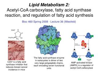 Lipid Metabolism 2: Acetyl-CoA carboxylase, fatty acid synthase reaction, and regulation of fatty acid synthesis
