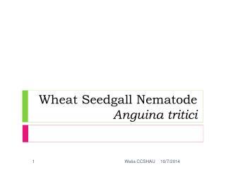 Wheat Seedgall Nematode  Anguina tritici