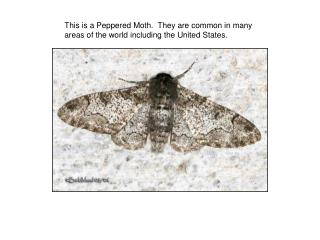This is a Peppered Moth.  They are common in many areas of the world including the United States.