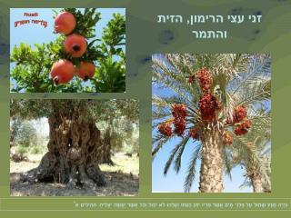 זני עצי הרימון, הזית והתמר