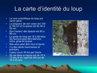 La carte d'identité du loup