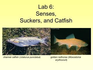 Lab 6: Senses,  Suckers, and Catfish