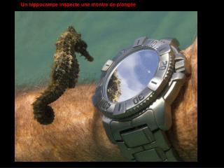 Un hippocampe inspecte une montre de plongée