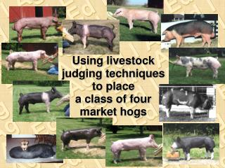 Using livestock judging techniques to place a class of four market hogs