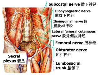 Subcostal nerve  肋下神经