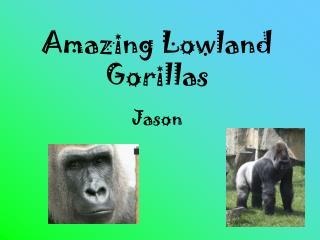 Amazing Lowland Gorillas