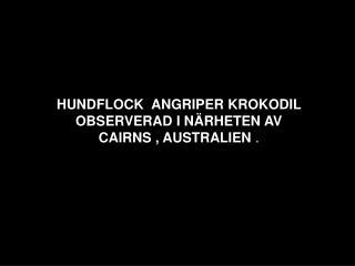 HUNDFLOCK  ANGRIPER KROKODIL  OBSERVERAD I N�RHETEN AV  CAIRNS , AUSTRALIEN  .