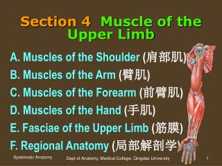 Section 4 Muscle of the Upper Limb