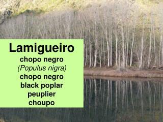 Lamigueiro chopo negro (Populus nigra) chopo negro black poplar peuplier choupo