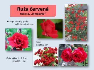 """Ruža červená Rosa sp. """"Sympathie"""""""