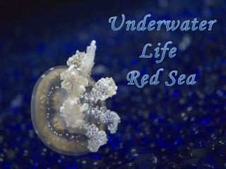 Underwater Life  Red Sea