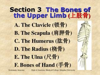Section 3   The Bones of   the Upper Limb ( 上肢骨 )