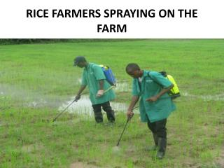 RICE FARMERS SPRAYING ON THE FARM