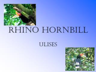 Rhino Hornbill