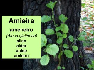 Amieira ameneiro (Alnus glutinosa) aliso alder aulne amieiro