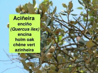 Aciñeira  enciño (Quercus ilex) encina holm oak chêne vert  azinheira