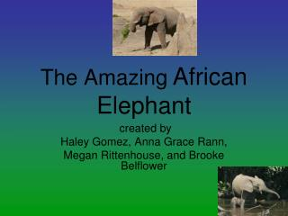 The Amazing African Elephant