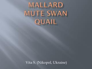 Mallard Mute Swan  Quail