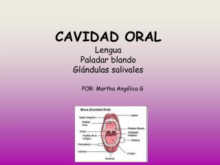 CAVIDAD ORAL Lengua Paladar blando  Glándulas salivales