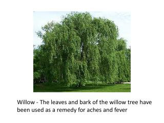 Willow - The leaves and bark of the willow tree have  been used as a remedy for aches and fever