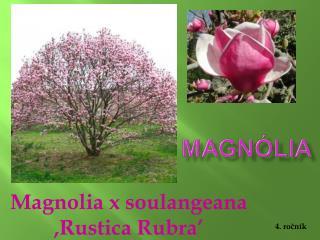 Magnolia x soulangeana ,Rustica Rubra'